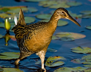 King Rail. Carol Foll, Creative Commons