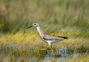 Lesser Yellowlegs. USFWS
